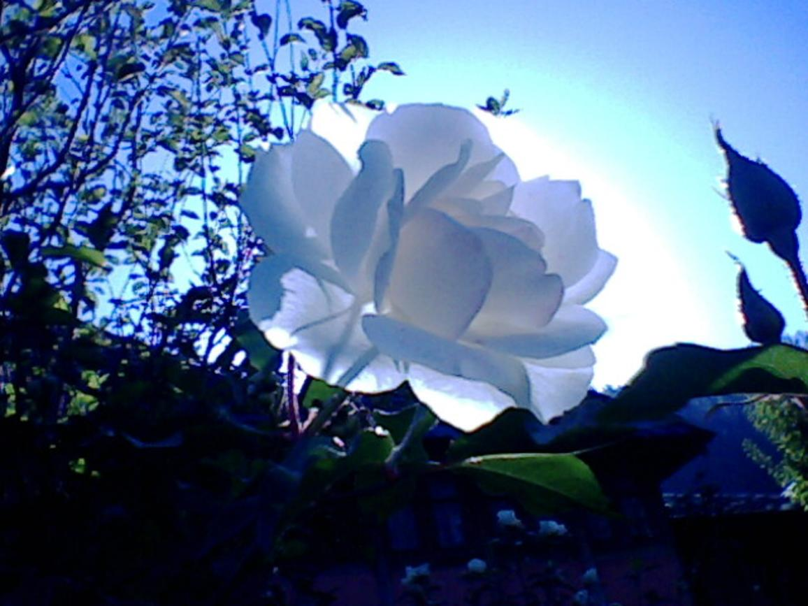 Lovely white rose