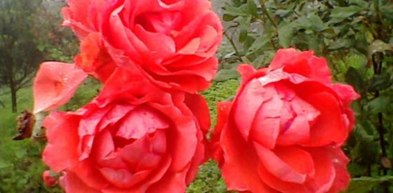 three red rose home_1156x867